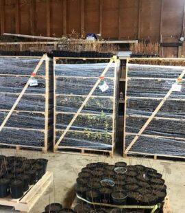 Haskap seedlings
