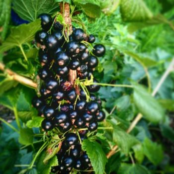 Tahsis Black Currant