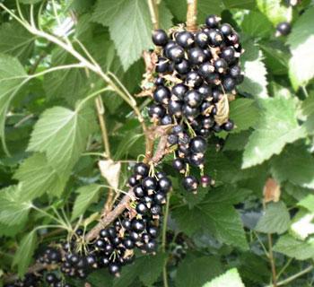 blackcomb black currant