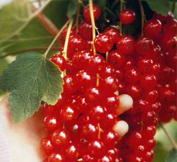 Rovada Red Currant